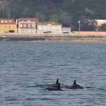 Dolphins in the Tagus river 2020