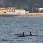 Golfinhos no rio Tejo 2020