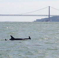 Dolphins in the Tagus again!