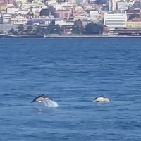 A week of dolphins in Lisbon